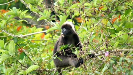 GUNUNG RAYA, LANGKAWI, MALAYSIA - APR 08th, 2015: An adult dusky leaf monkey or langur is sitting among leaves in a tree in the wild