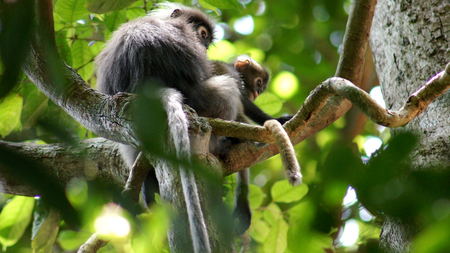 KEDAH, LANGKAWI, MALAYSIA - APR 08th, 2015: An adult dusky leaf monkey or langur is sitting with a litte baby monkey among leaves in a tree in the wild