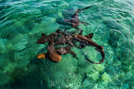 Nurse Sharks Gathering in Expectancy of Bait at Shark Ray Alley off Caye Caulker Island in Belize, Caribbean Stock Photo