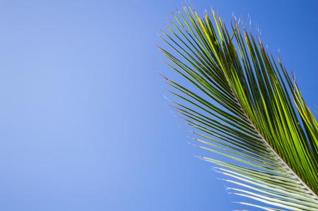 palmy: Single Branch of a Palm Tree, Tenerife, Spain