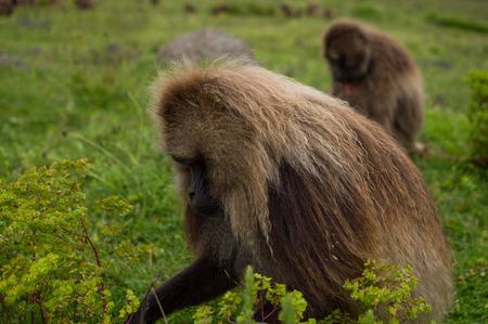 Male Gelada Monkey in the Simien Mountains, Ethiopia