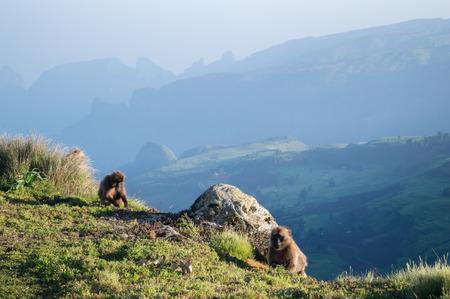 Group of Gelada Monkeys in the Simien Mountains, Ethiopia