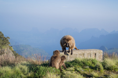 Group of Gelada Monkeys in the Simien Mountains, Ethiopia
