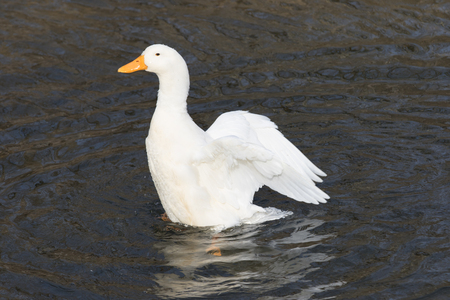White, domestic duck, Pekin duck, rising up out of rippling water, with wings extended backward.
