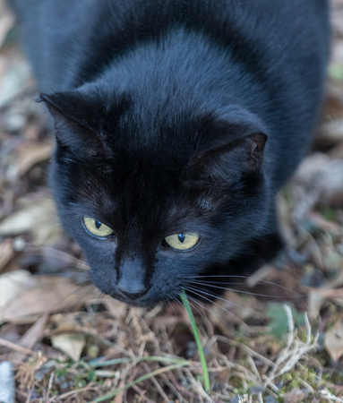 A black cat, focused and ready to pounce, shot from above.