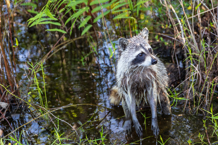 The North American Raccoon, wet from feeding in the Okefenokee swamp. Stock Photo
