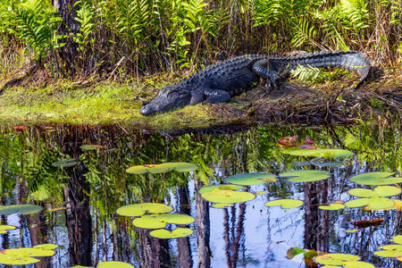 Adult American alligator resting in the sun on bank of Okefenokee swamp, with lily pads in foreground. Imagens - 120536609