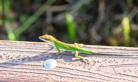 A green anole lizard (anolis carolinensis) .