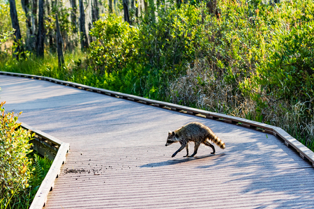 An American raccoon, dripping wet from the swamp, crosses a tourist boardwalk in Okefenokee swamp.