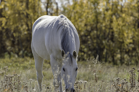 especially: White with gray mane, a beautiful horse. Especially with the orange background provide by autumn.