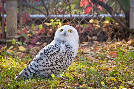 those: Snowy Owl looking up with those intense yellow orange eyes.