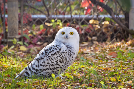 unconcerned: Staring right at the camera, the Snowy Owl is curious but unconcerned with my presence.