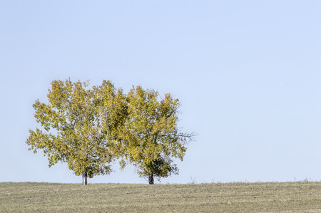 bask: Surrounded by a barren field these twin trees bask in the vibrant colors or autumn. Stock Photo