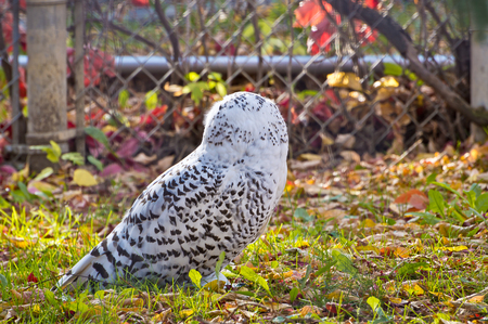 unconcerned: Snowy Owl inspecting its surroundings, unconcerned with my approach. Stock Photo