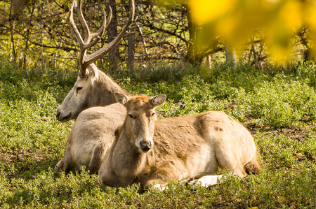 david brown: Pere David Deer, male and female, resting on the ground enjoying the autumn sun.