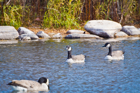 canadian geese: Peace and tranquility as these Canadian Geese relax in the morning sun. Stock Photo