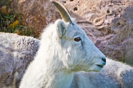 Mountain Goat hears a sound and looks left to see what it is. 版權商用圖片