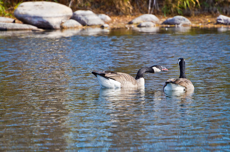 honking: Canadian Goose becomes upset and makes his feelings known by honking at his companion.