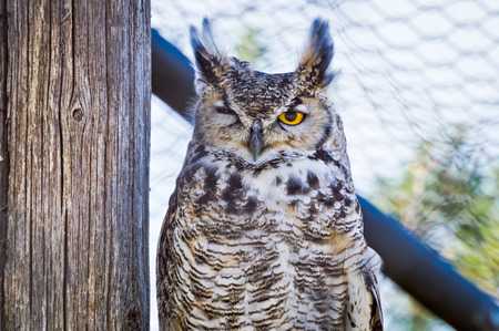 squinting: Great Horned Owl squinting one eye, or as I prefer to believe...winking at the camera.