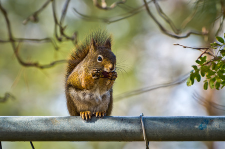 acorn squirrel: Squirrel eating on a fence, clutching its treasure in its claws.