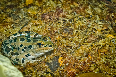 A close-up of the spotted leopard frog on a bed of moist moss.