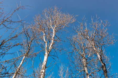 tree vertical: These tall and leafless birch stand watch over the forest. Stock Photo