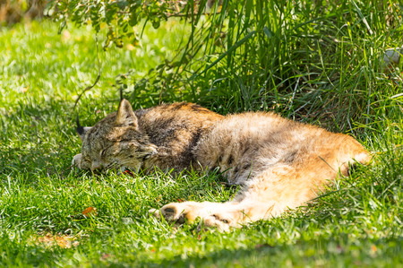 sprawled: Lynx is sleeping in the shade to escape the afternoon warmth.