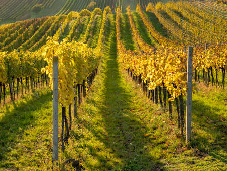 Yellow and green rows of autumn vineyard.