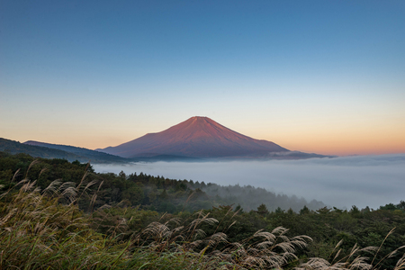 Mountain Fuji without snow cover the peak and sea of mist below in early autumn with foreground of pine tree in a morning yellow and blue sk
