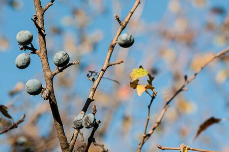 Ripe berry blackthorn on a background of blue sky. Stock Photo