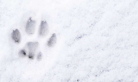 Winter cat paw print in the snow. Free space. Stock Photo