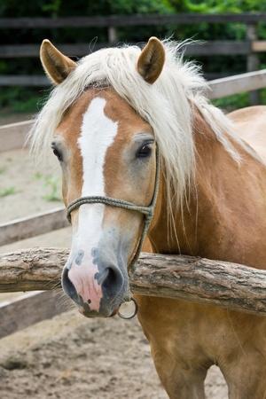 A pony horse portrait, vertical