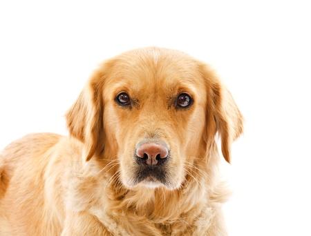 animal sad face: closeup on sad face expression of golden retriever dog over white background  Stock Photo