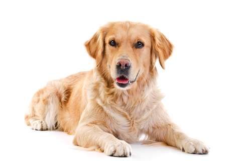 brown labrador: golden retriever dog laying over white background