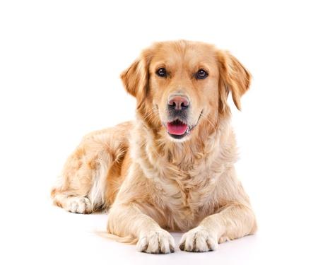 perro labrador: perro perdiguero de oro por más de fondo blanco