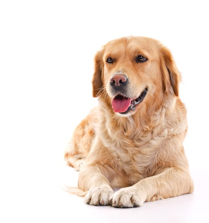 golden retriever dog laying over white background