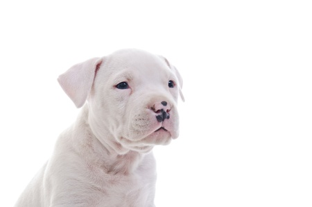 amstaff: American Staffordshire Terrier Dog Puppy watching Stock Photo