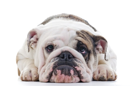sad dog: Closeup of English bulldog head, laying dog, Shallow focus on eyes Stock Photo