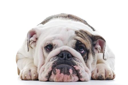 mirada triste: Primer plano de la cabeza Inglés bulldog, perro tendido, foco superficial en los ojos