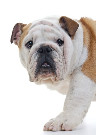 british people: English bulldog standing in front of white background, closeup, looking at camera