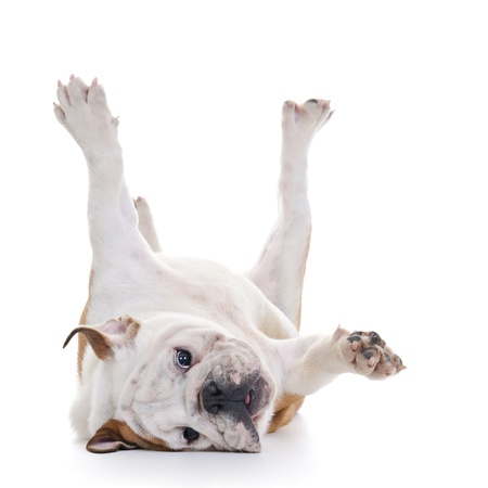 English bulldog rolling over floor, laying upside down, high key