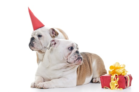 Two English Bulldog dogs over white background, One wearing red party hat, Other laying and looking off camera, Horizontal shot photo