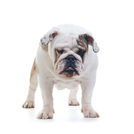 English bulldog standing in front of white background and looking down photo