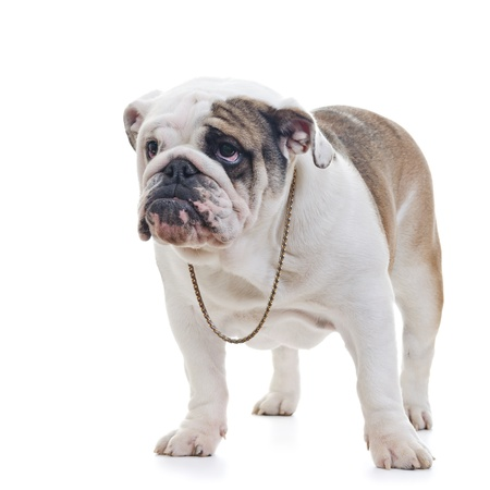 british people: English Bulldog wearing necklace standing over white background, looking off camera