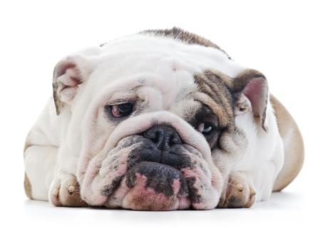 English Bulldog laying over white background, shy looking off camera Standard-Bild
