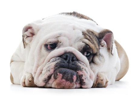 sad dog: English Bulldog laying over white background, shy looking off camera Stock Photo