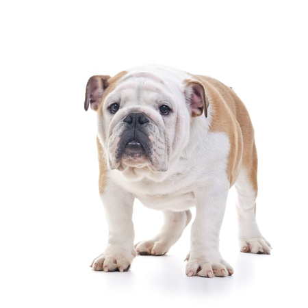 bull dog: English bulldog standing still over white background