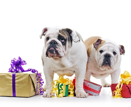 Two English Bulldog dogs over standing near and above gift boxes on white background, selective focus photo