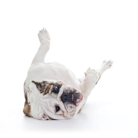 Aufraumarbeiten Nach Dem Hund Englisch Bulldogge Kopfuber Halten