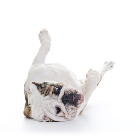 English bulldog rolling over floor, laying upside down, high key Stock Photo - 16825553
